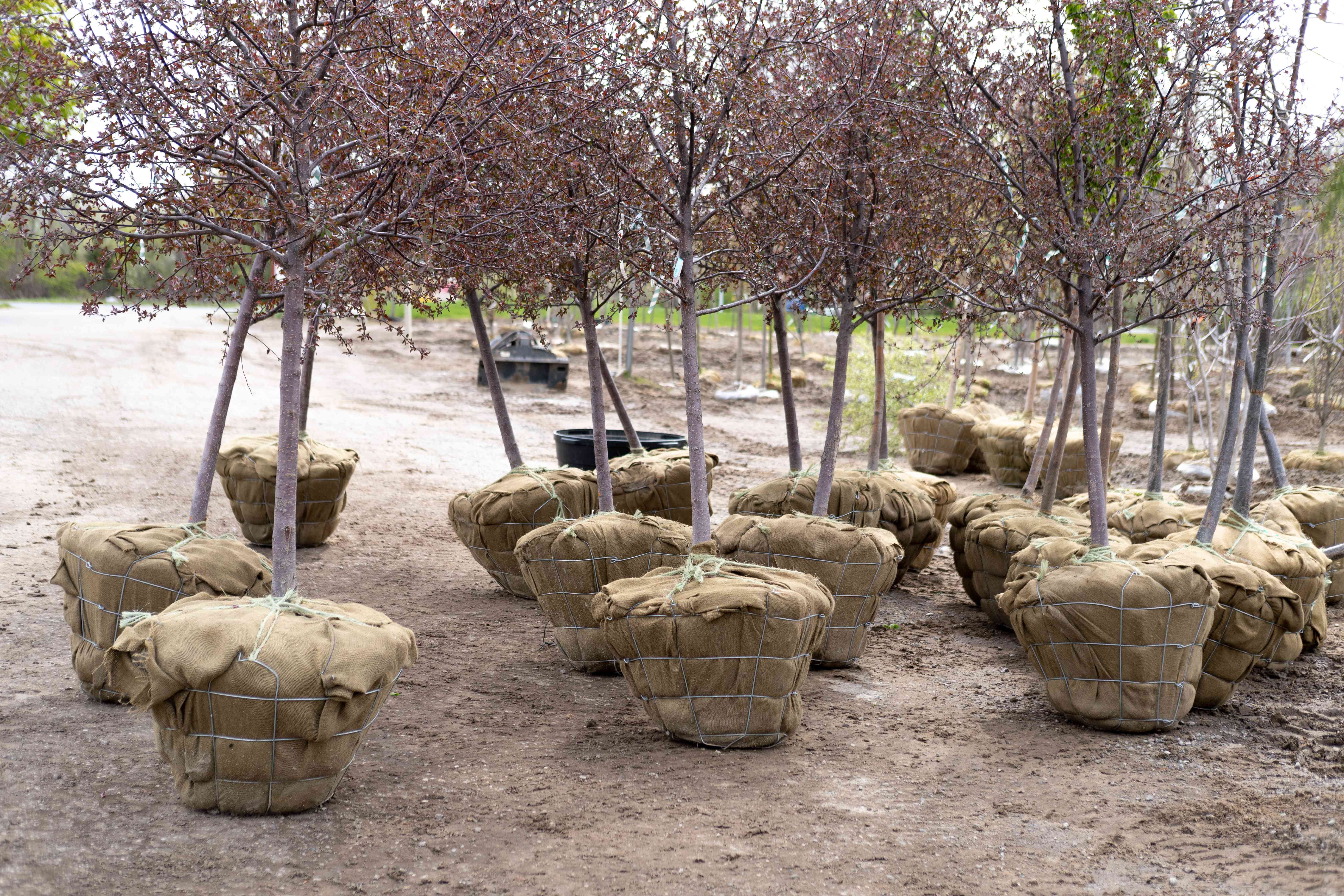 group of young trees in portable root bags ready for transplant / planting