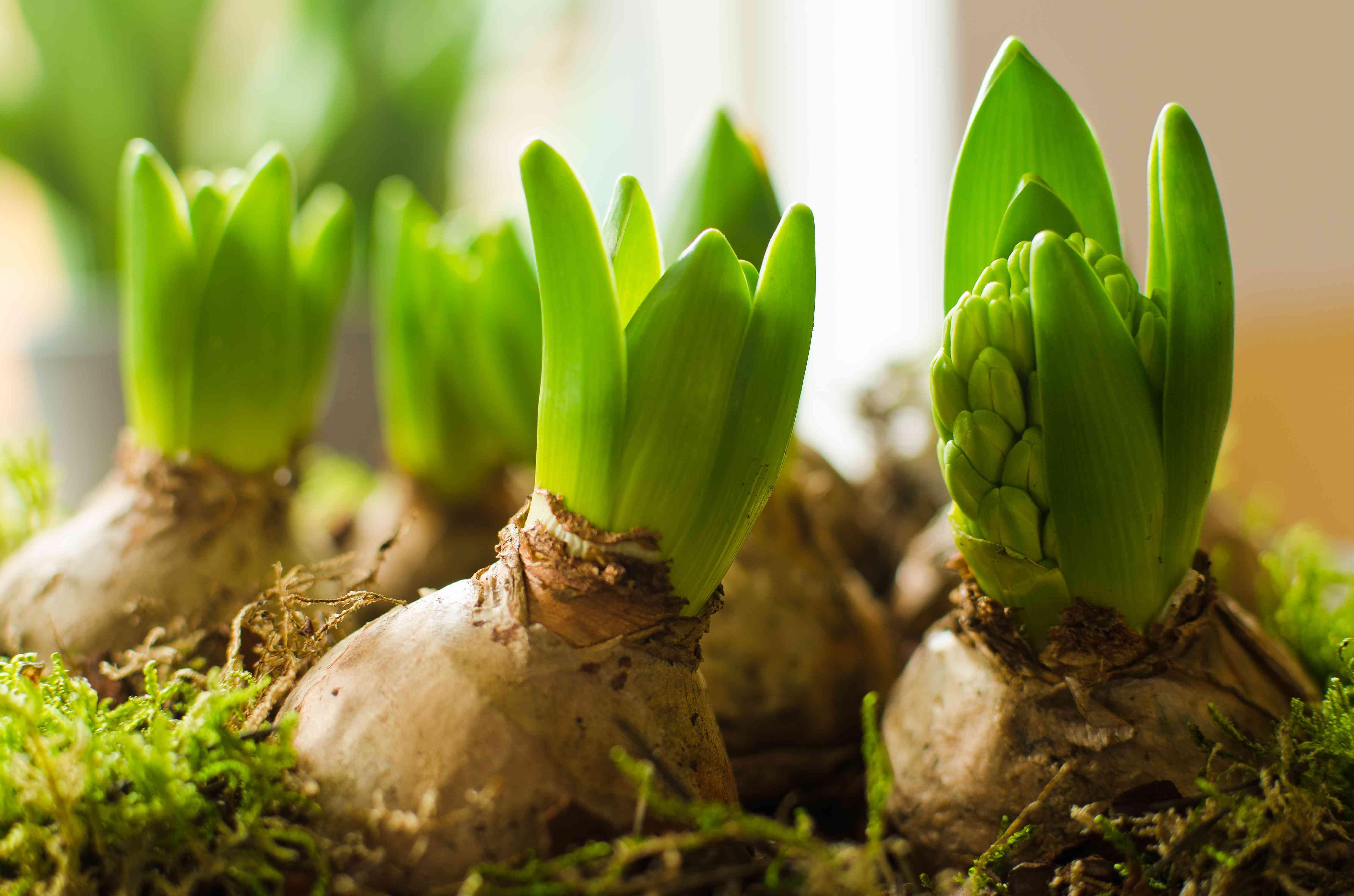 Several hyacinth bulbs growing inside