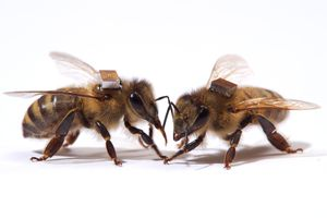 Bees with a microchip glued on their backs.