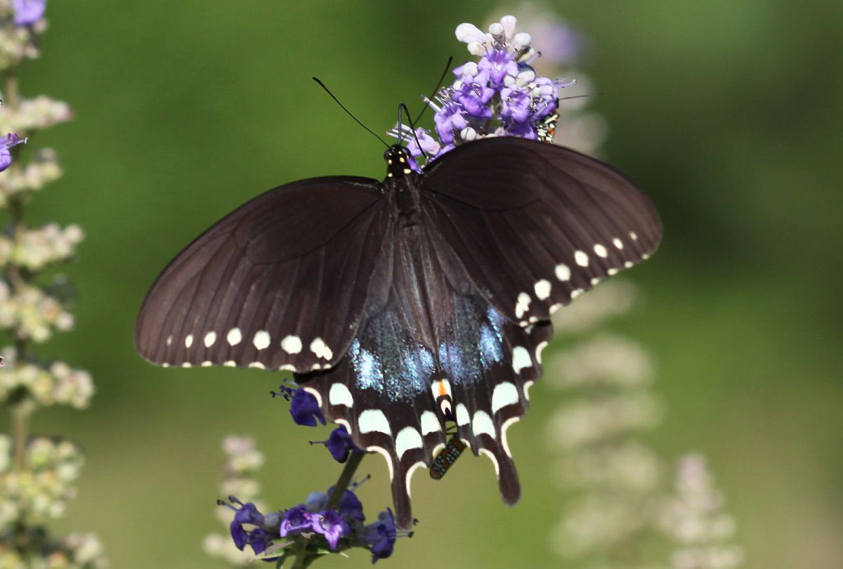 A black, blue, and white spotted spicebush swallowtail butterfly on a purple flowering plant