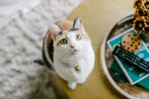 calico kitty with green eyes sits on coffee table and stares at camera