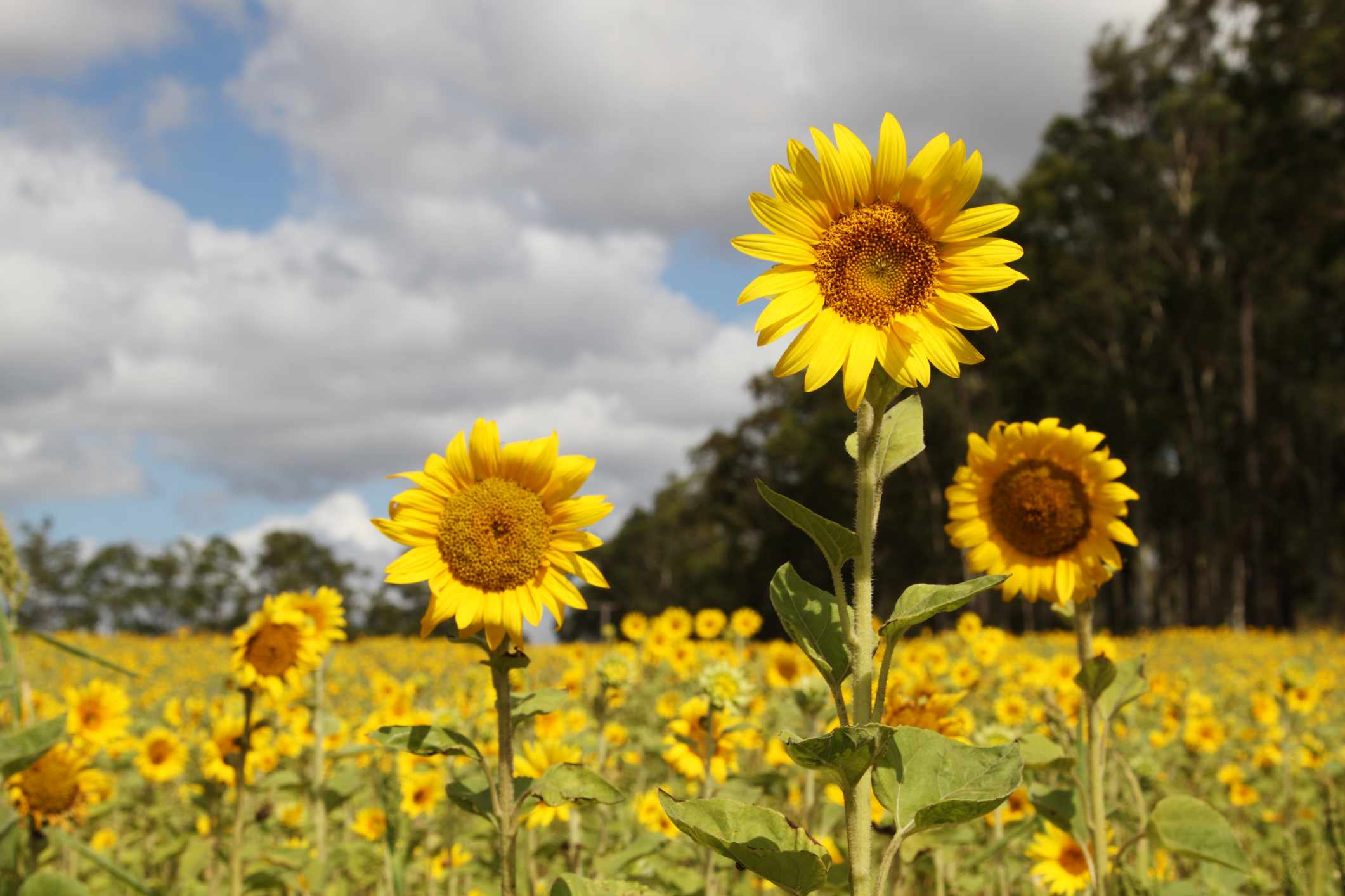Sunflower field with focus on three tall sunflowers