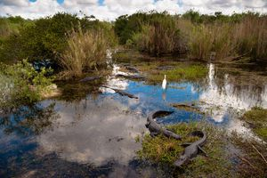 A waterfowl stands in the Everglades among some alligators