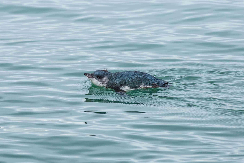 Blue penguin swimming in a cold sea