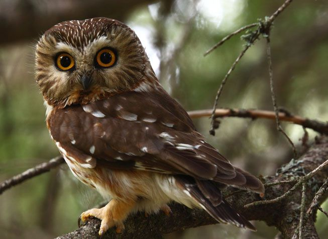 Northern Saw-whet Owl on a tree branch
