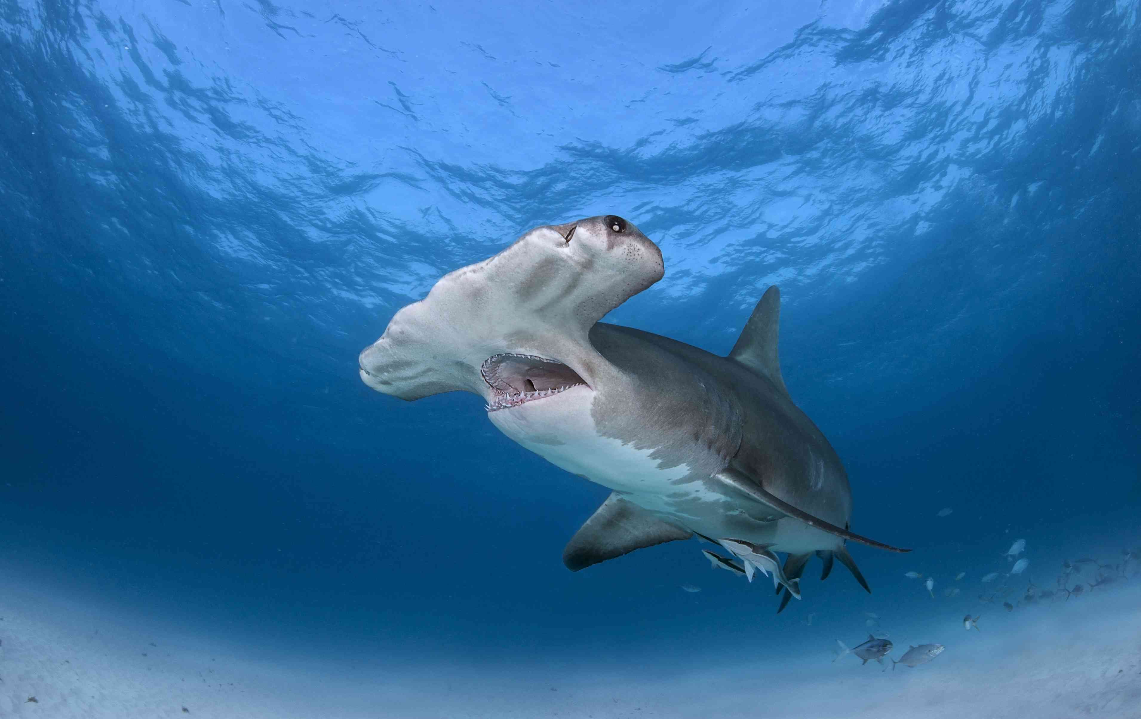 A hammerhead shark swimming near the ocean's surface with its mouth open.