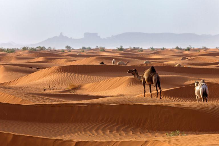 Camels in the Arabian Desert