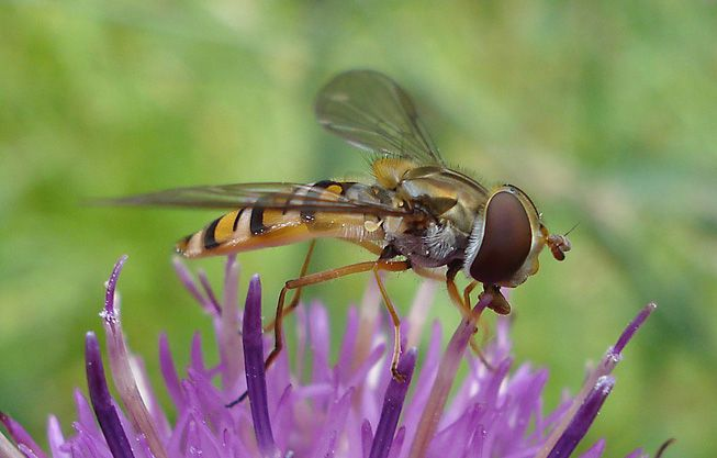 A hoverfly sits on a flower