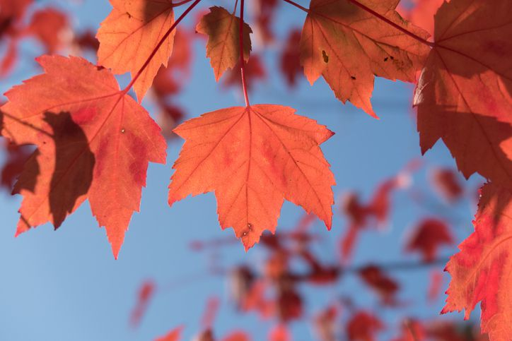 Red maple leaves against a blue sky.