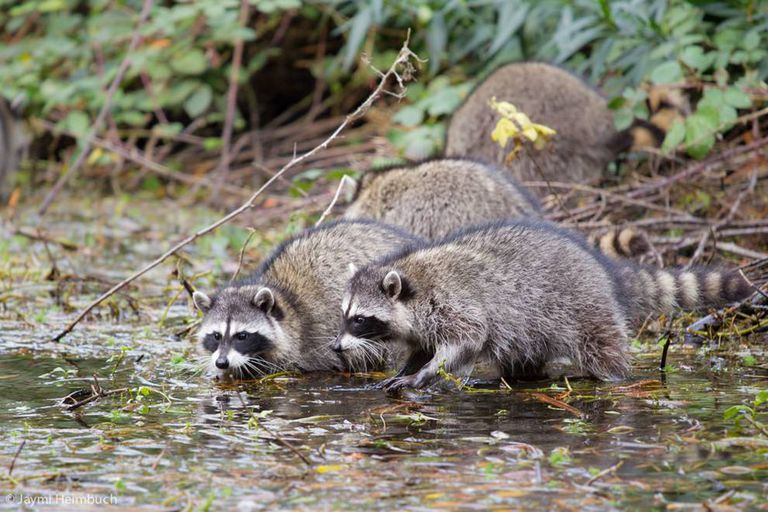 Raccoons by the water