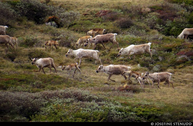 Reindeer herd in a grassy meadow
