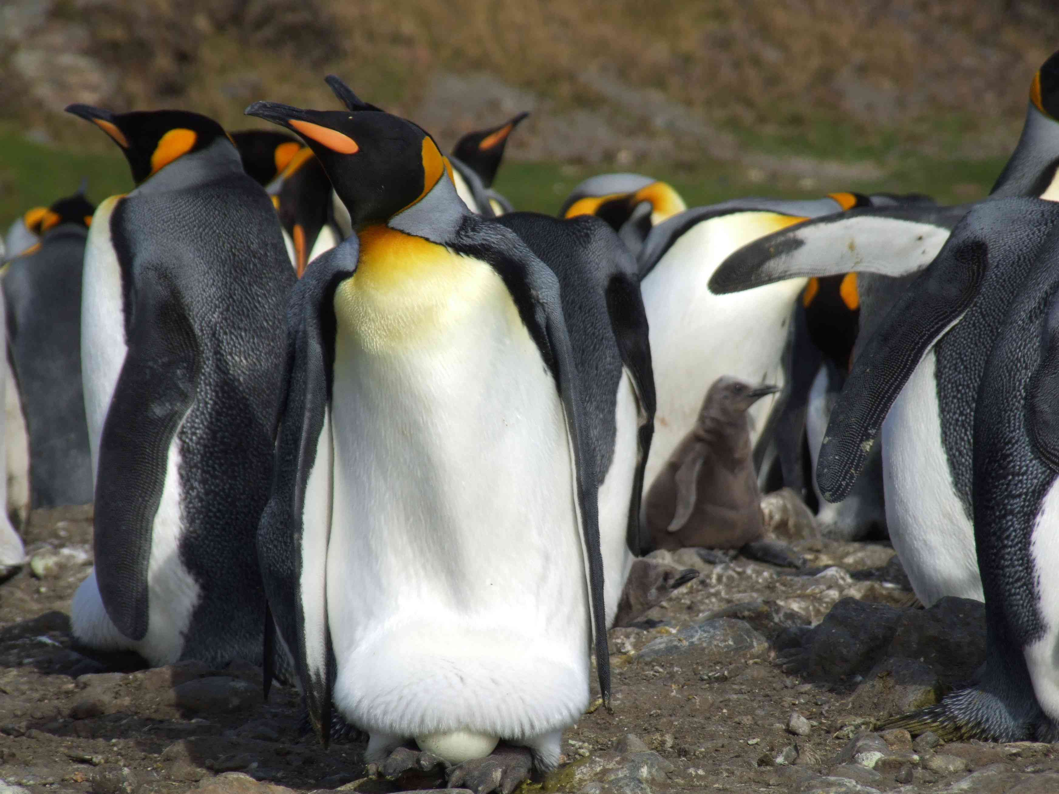 Emperor penguin with egg