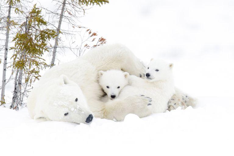 mother polar bear plays with her cubs