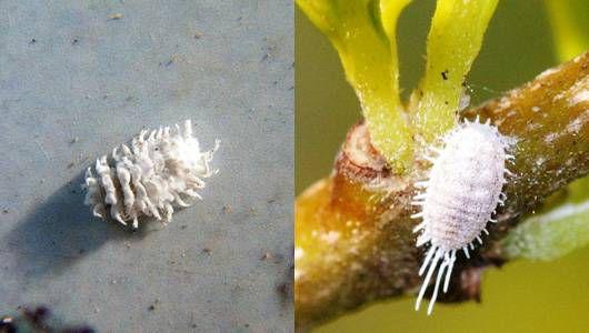 mealybug vs mealybug destroyer larvae