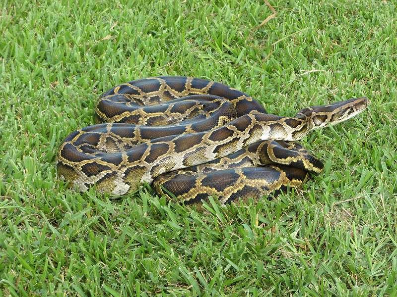 A Burmese python coiled up on green grass.