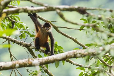 Geoffroy's spider monkey hanging onto a branch with one hand