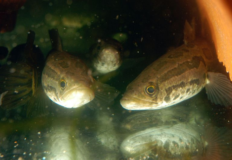 Landwalking 'Snakehead' Fish Appears In Philadelphia
