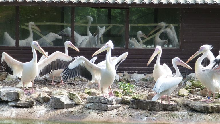 great white pelicans at the Blackpool Zoo