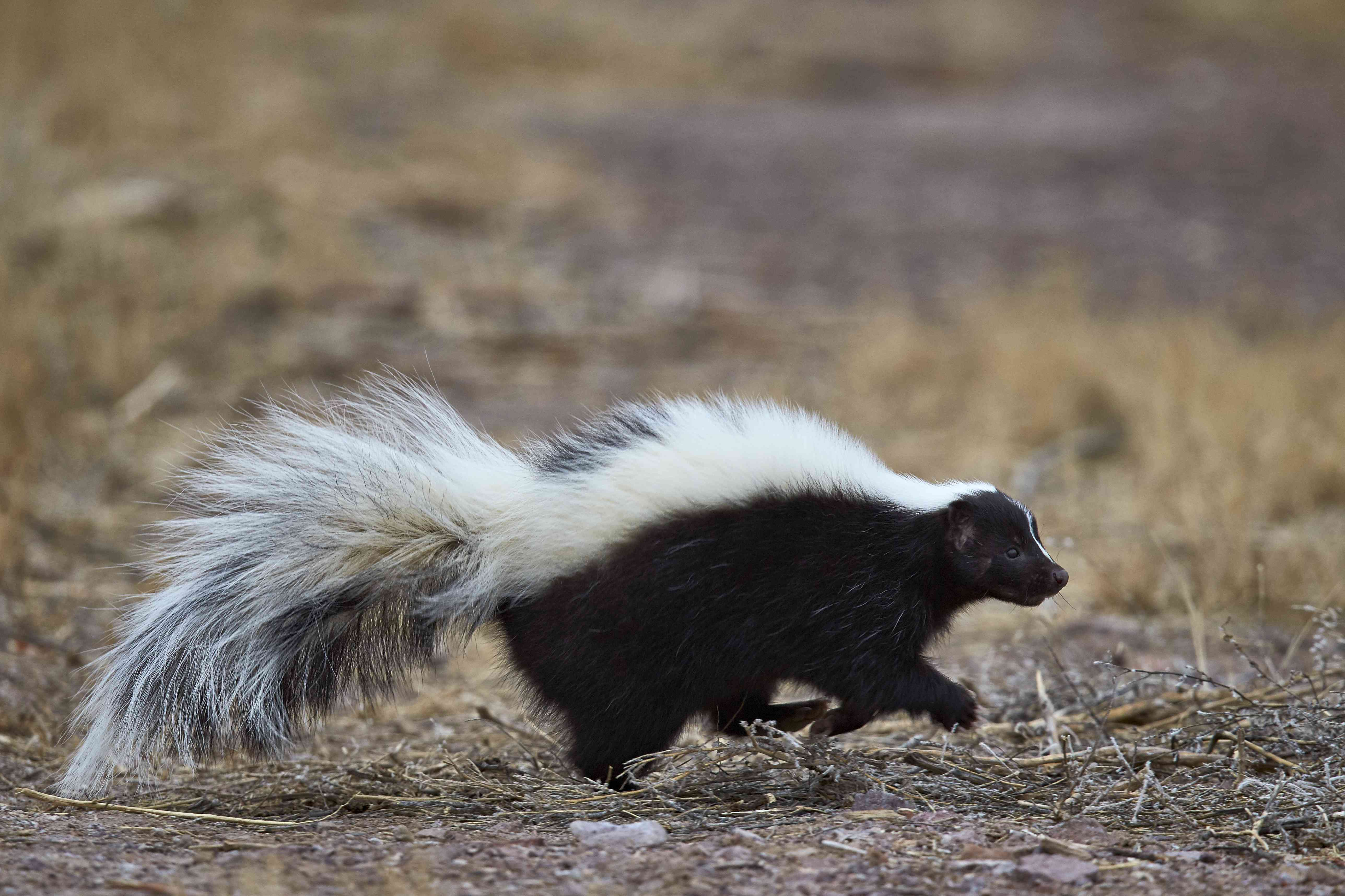 Side view of striped skunk running