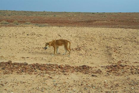dingo in australian desert photo