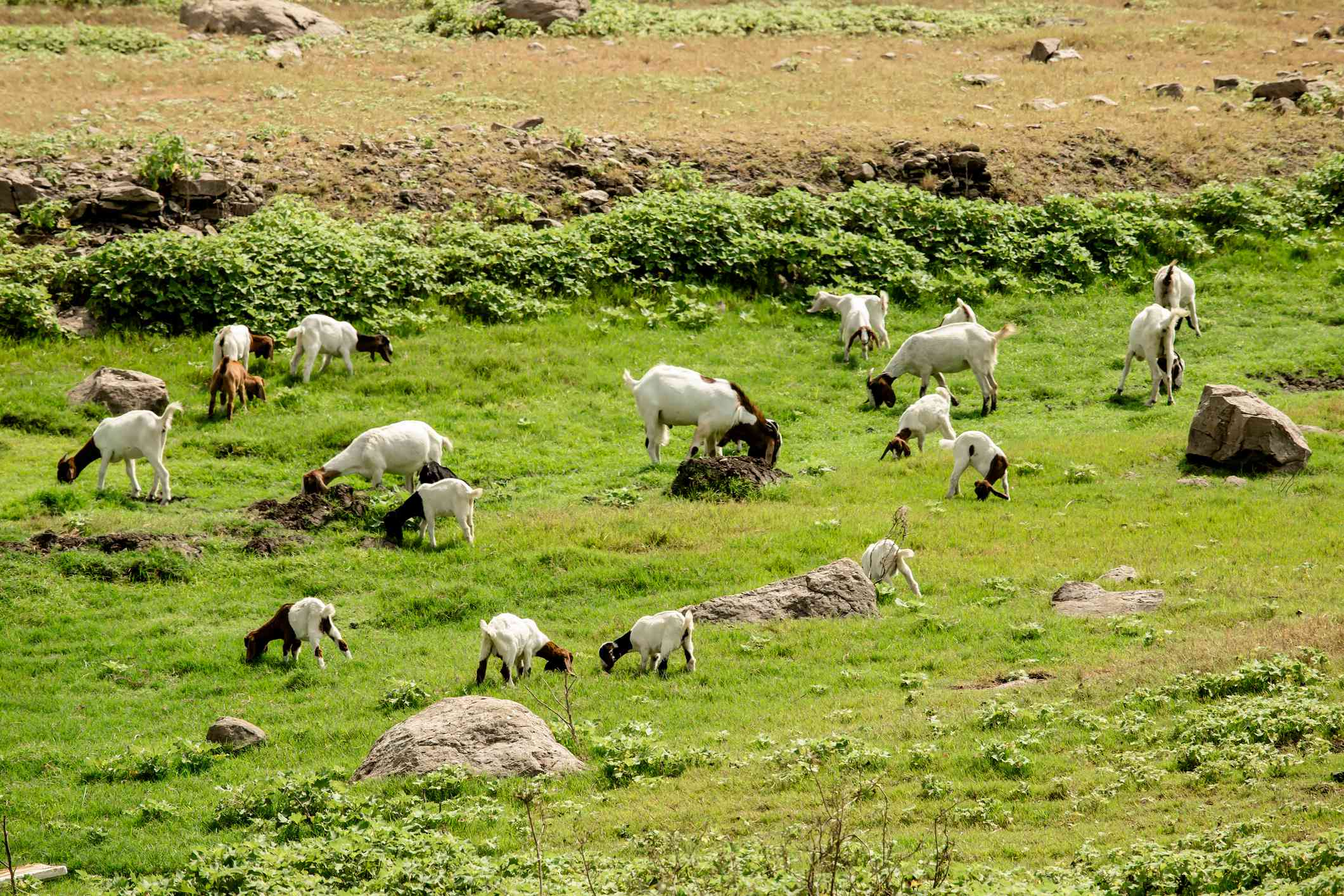 Goats eating on a green pasture.