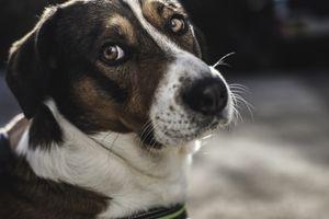 Sad Faced Dog with Big Brown Eyes