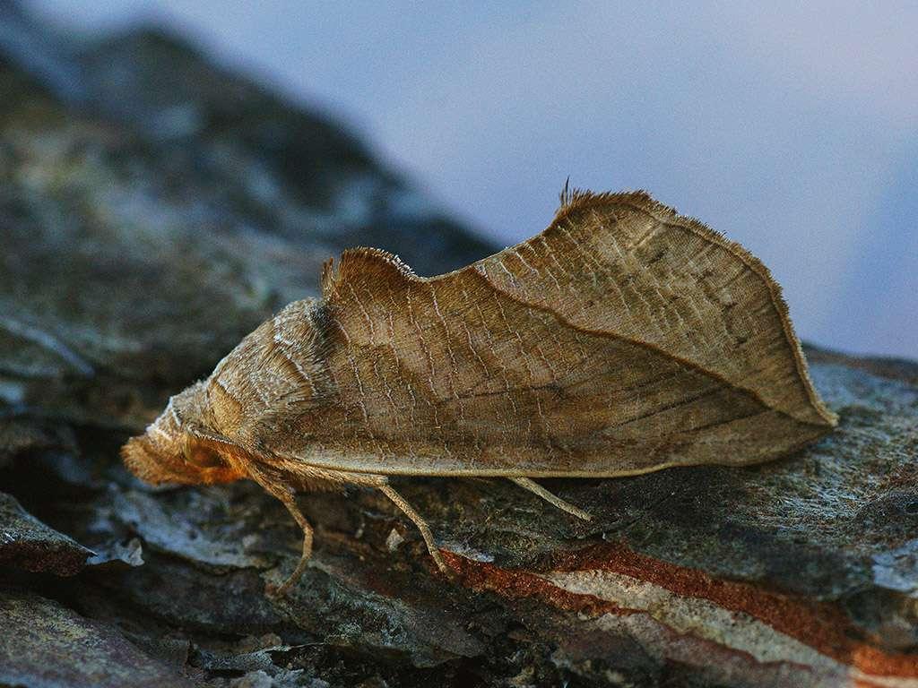 tan vampire moth with large wings landing on tree trunk