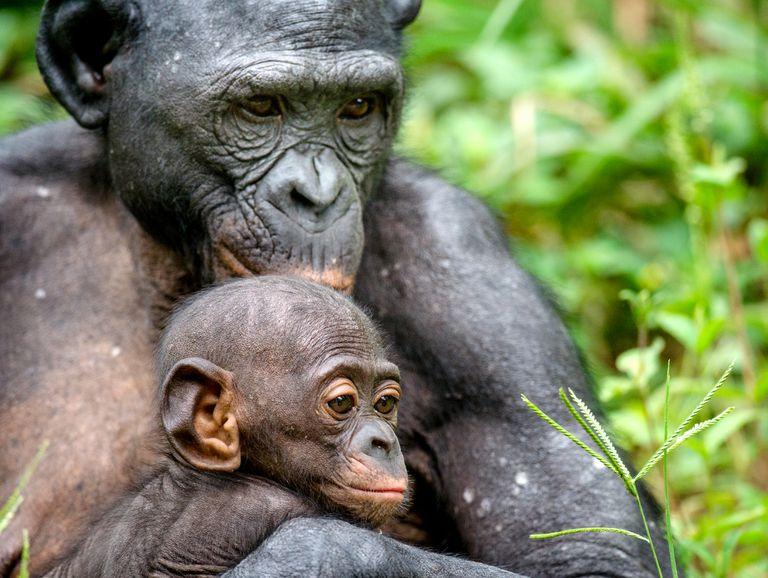 Las mamás bonobos entrometidas no se detendrán ante nada para conseguir nietos