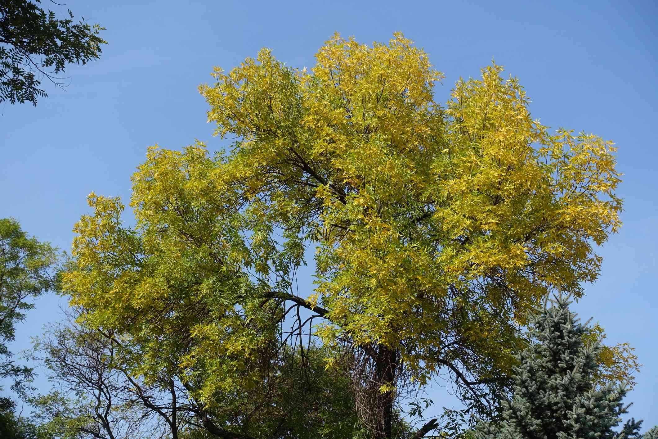 Leaves yellowing on a Green Ash tree.