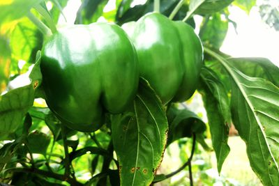 Green bell peppers growing on a plant