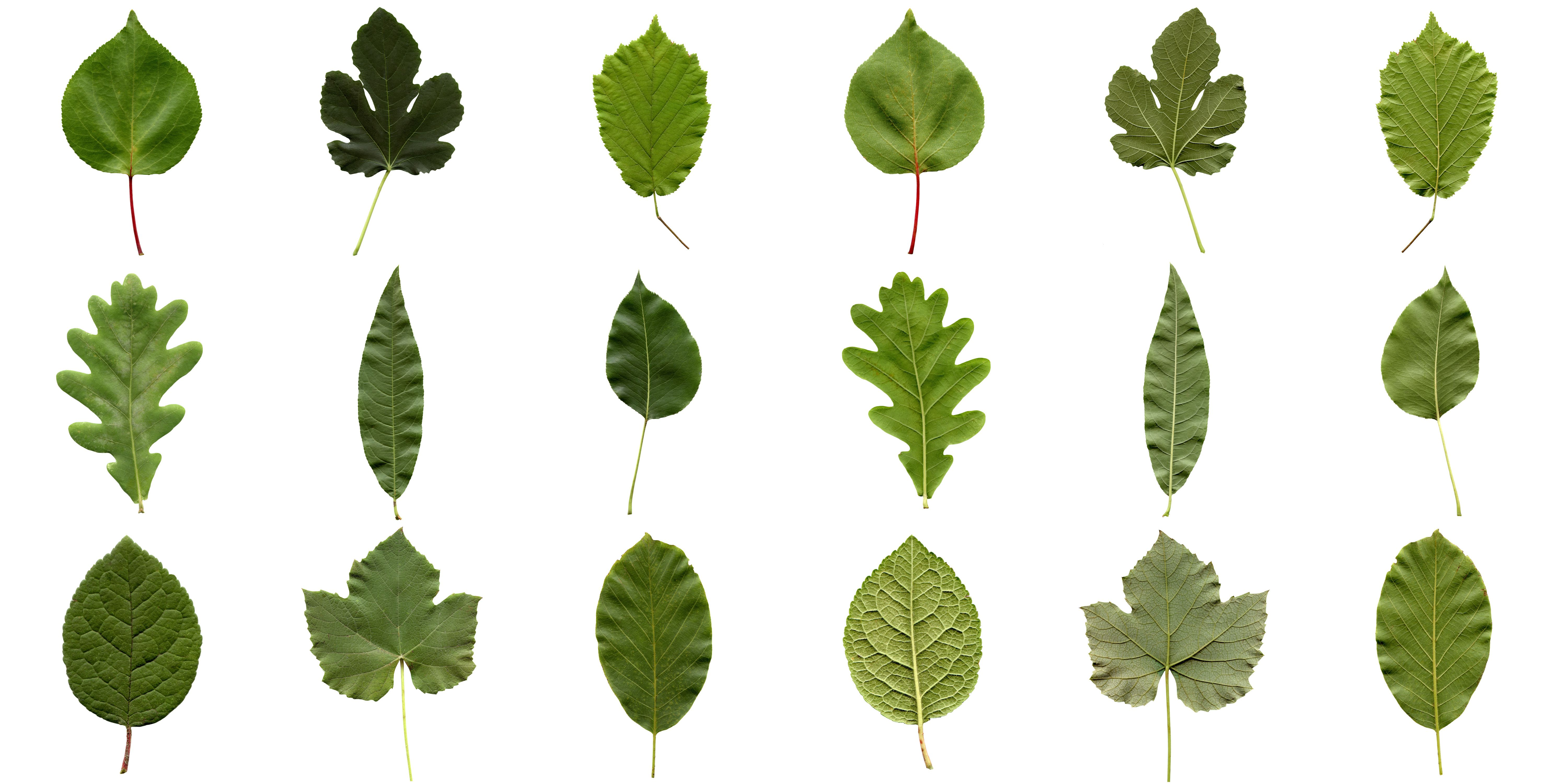 Why Do Leaves Have Such Different Shapes?