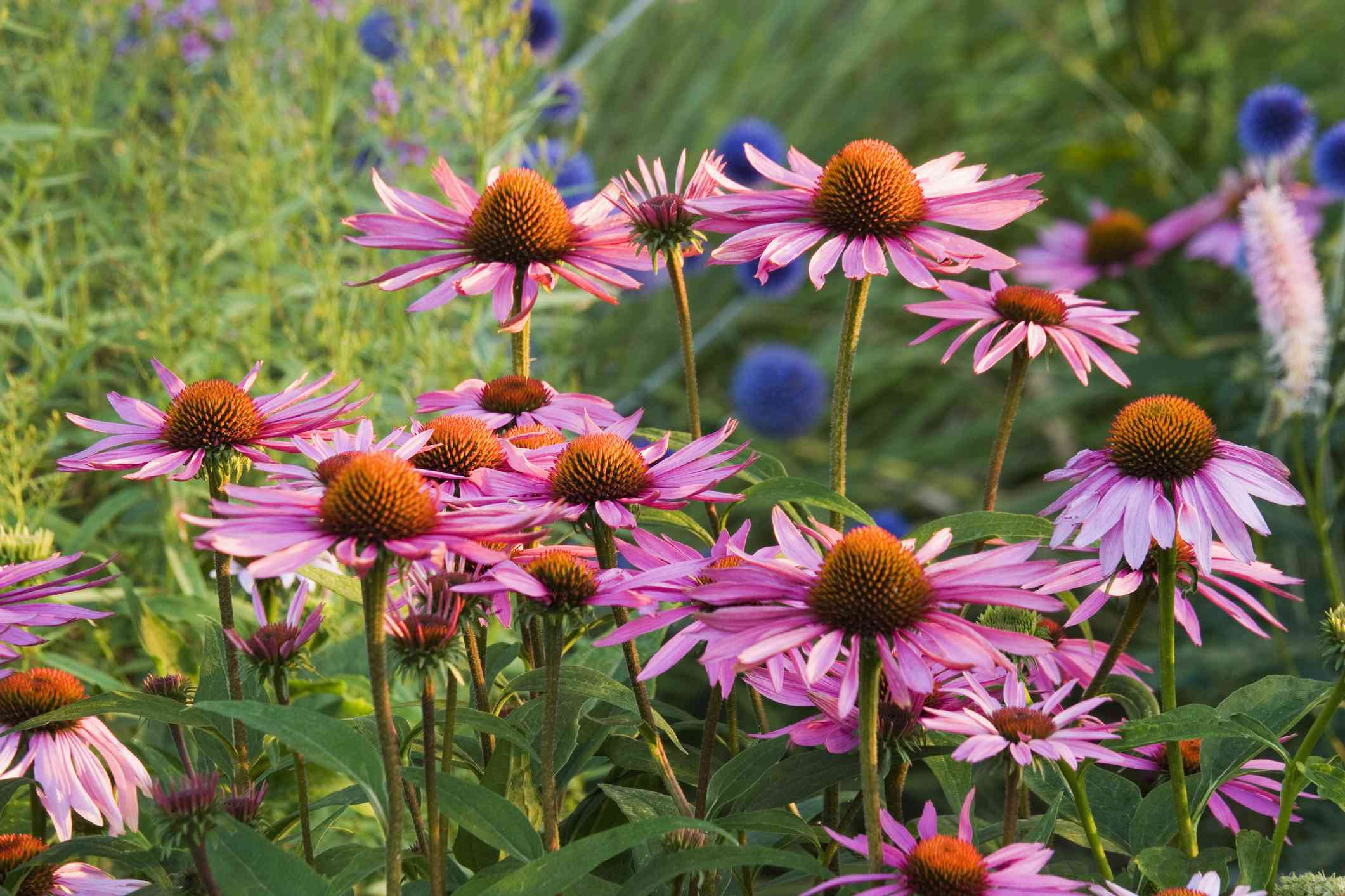 Pink and purple coneflowers