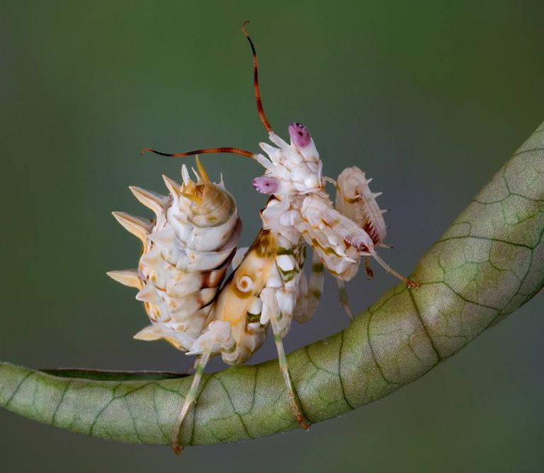 Spiny flower mantis nymph