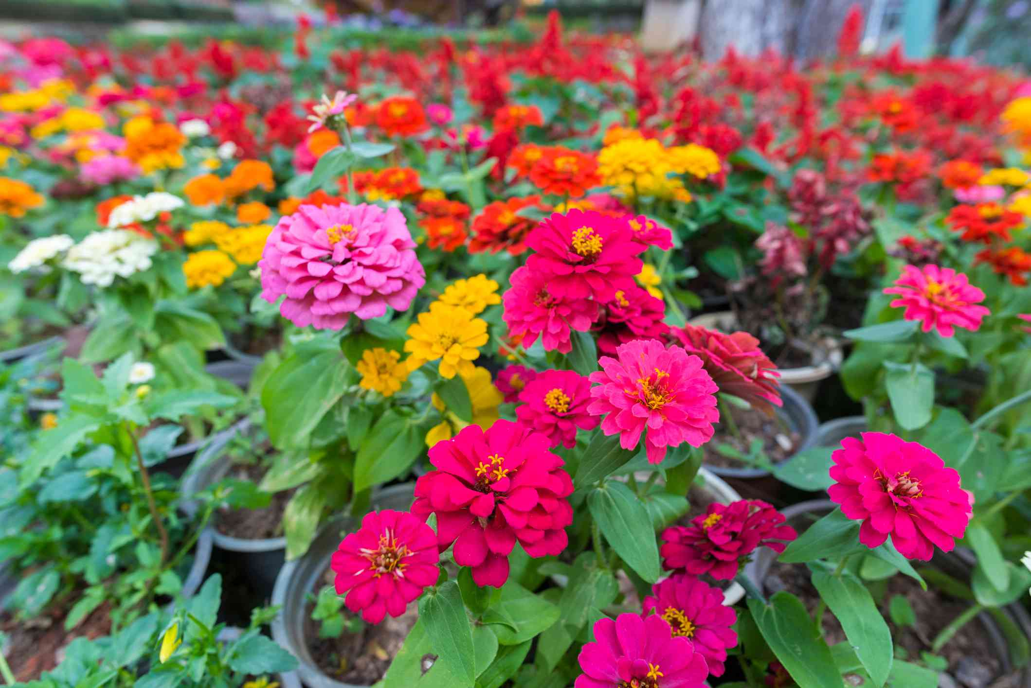 Zinnias in all colors growing in pots outside