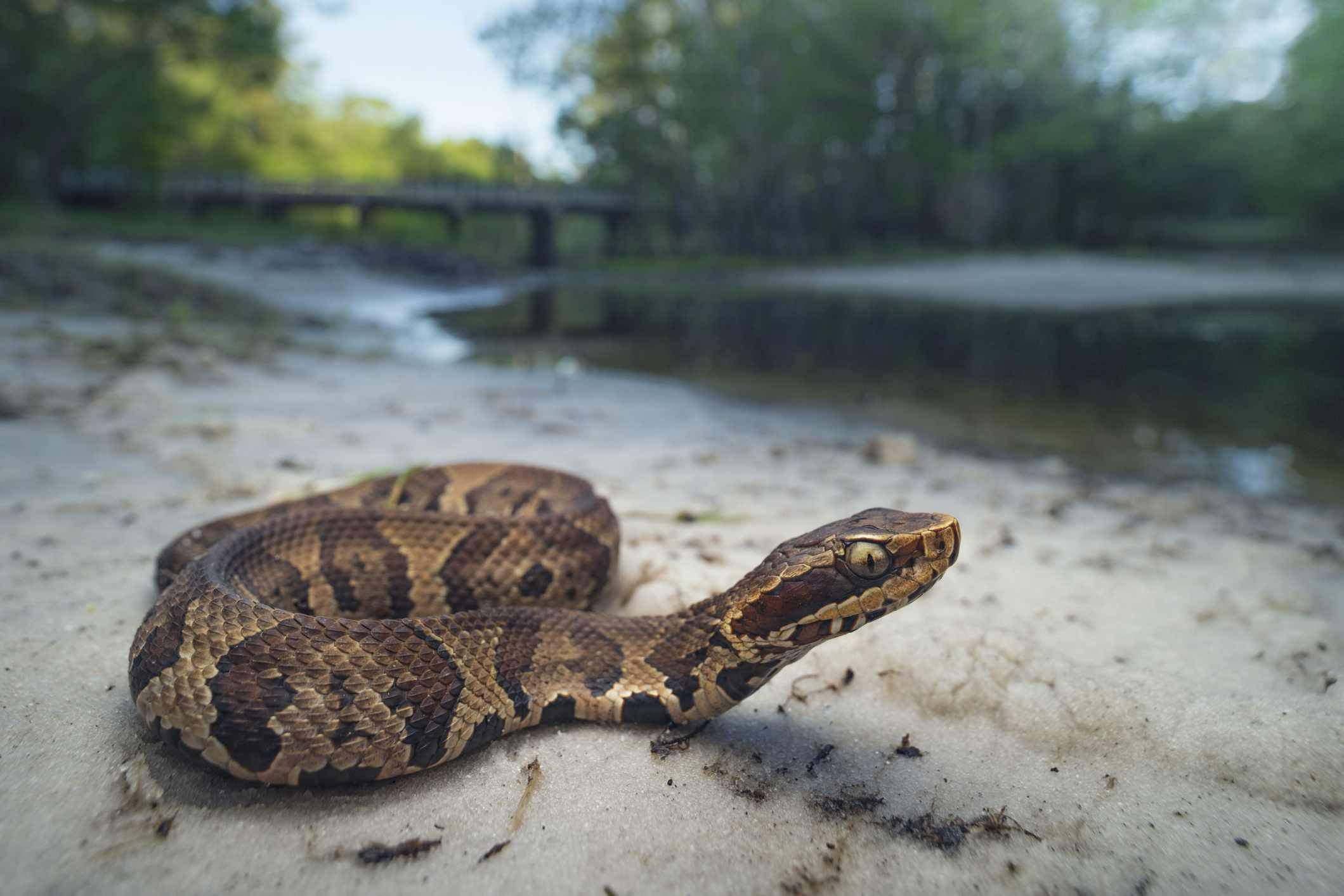 Juvenile cottonmouth snake (Agkistrodon piscivorus), Florida, America, USA