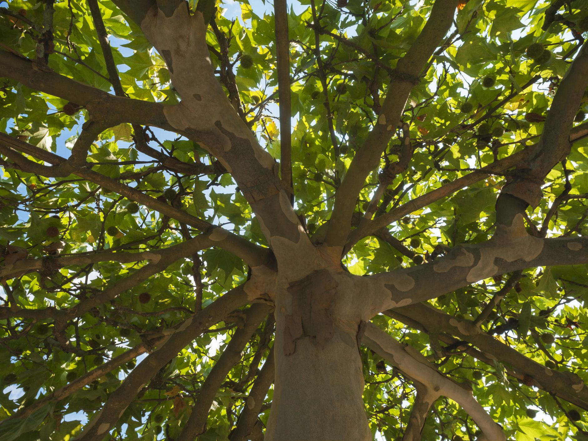 Nice Shades 7 Fast Growing Shade Trees To Slash Your Electric Bill