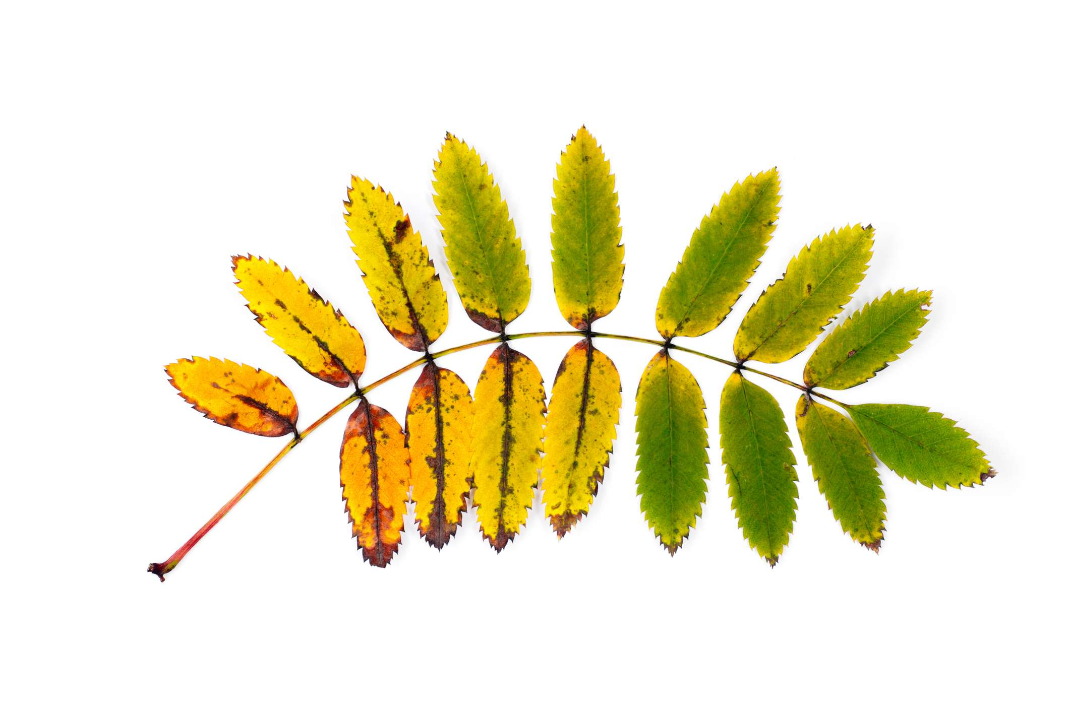 A yellowing ash leaf on a white background.