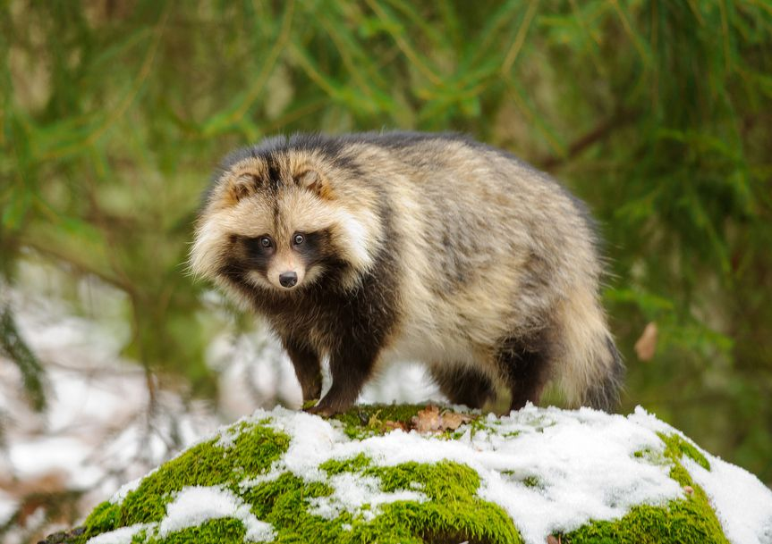 A tanuki stands on a moss-covered rock in the winter snow