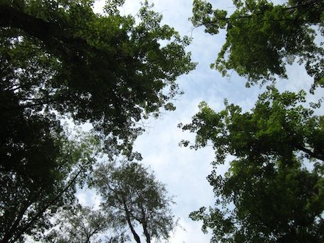 trees form a canopy of leaves against a blue sky