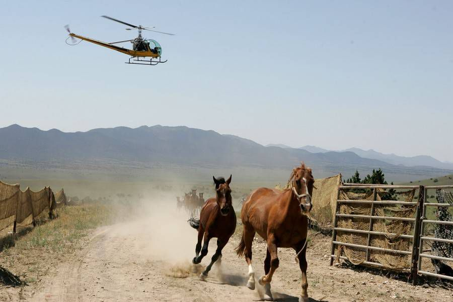 mustangs lead into holding pens by helicopter
