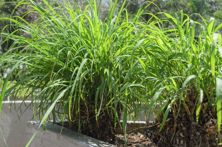 The citronella, scientifically known as Cymbopogon nardus or Cymbopogon winterianus, is a medicinal plant with repellent properties for insects, flavoring, bactericidal and soothing, and is widely used in the manufacture of cosmetics.