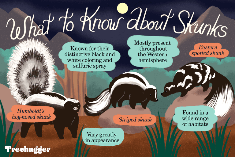 what to know about skunks illustration