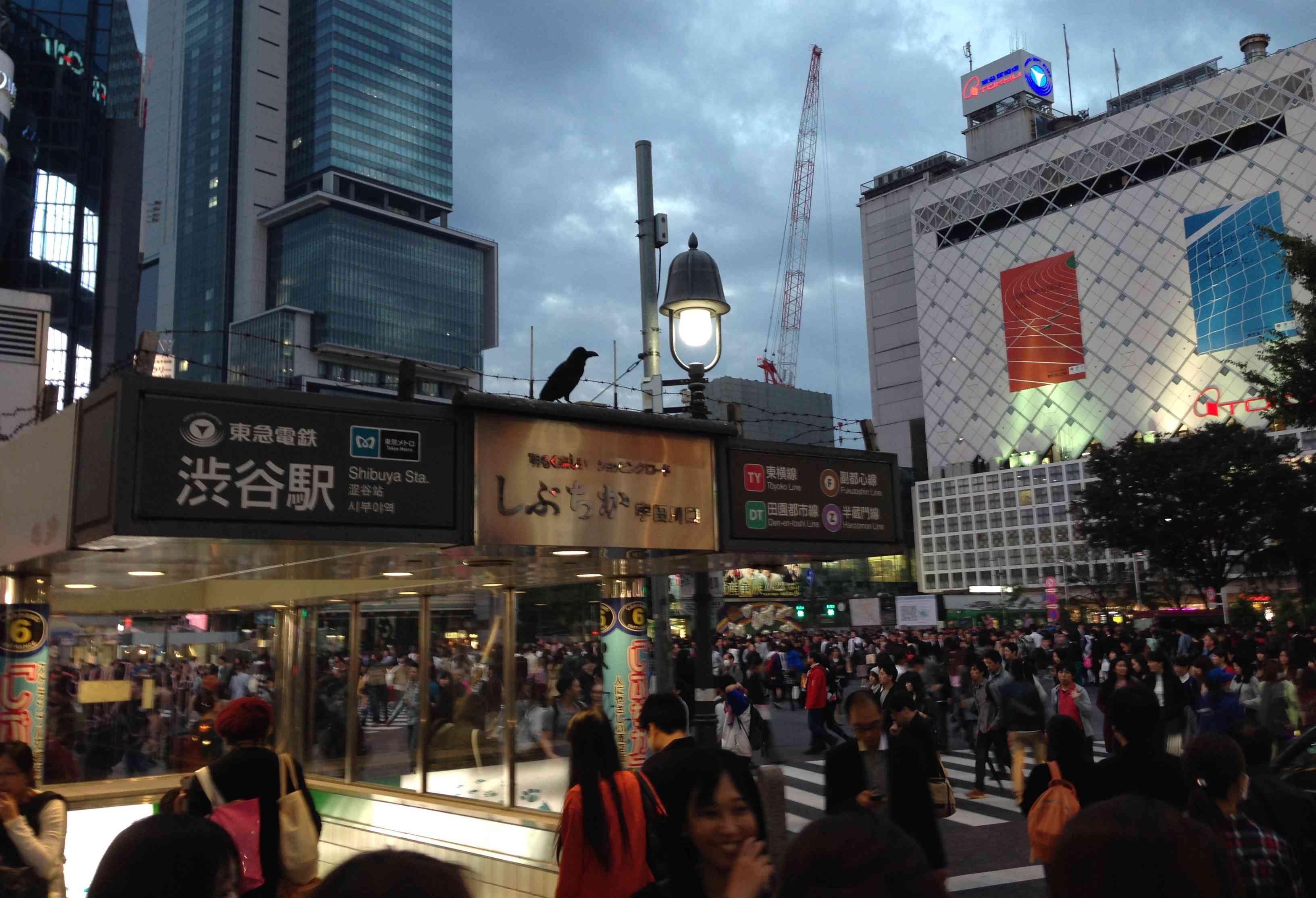 urban crow in Japan