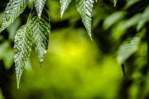 Raindrops on green leaves.