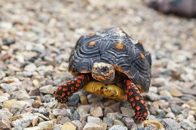 red footed tortoise walking outside on stones