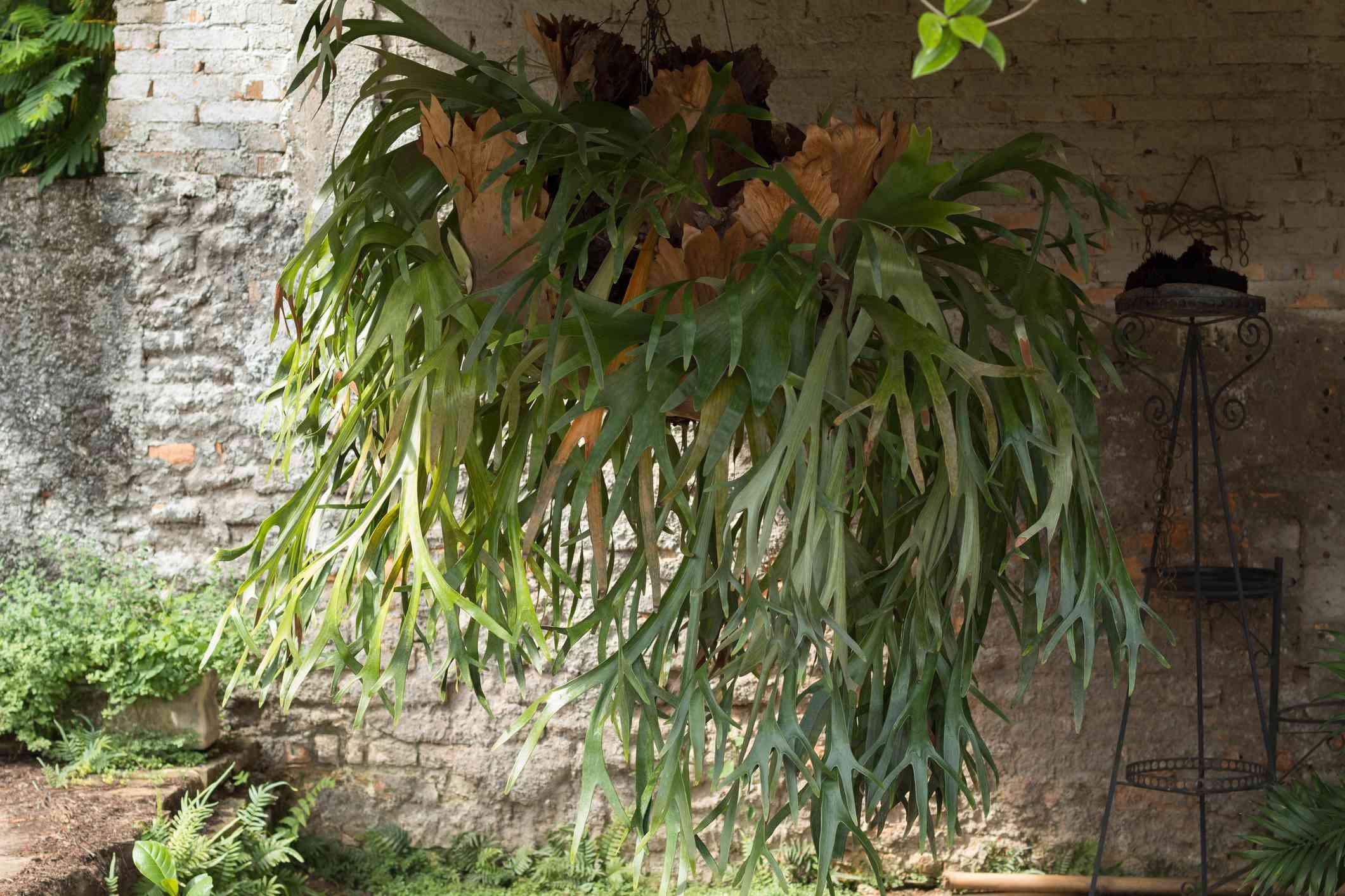 Staghorn fern hanging indoors