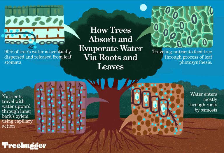 how trees absorb and evaporate water via roots and leaves edit illo