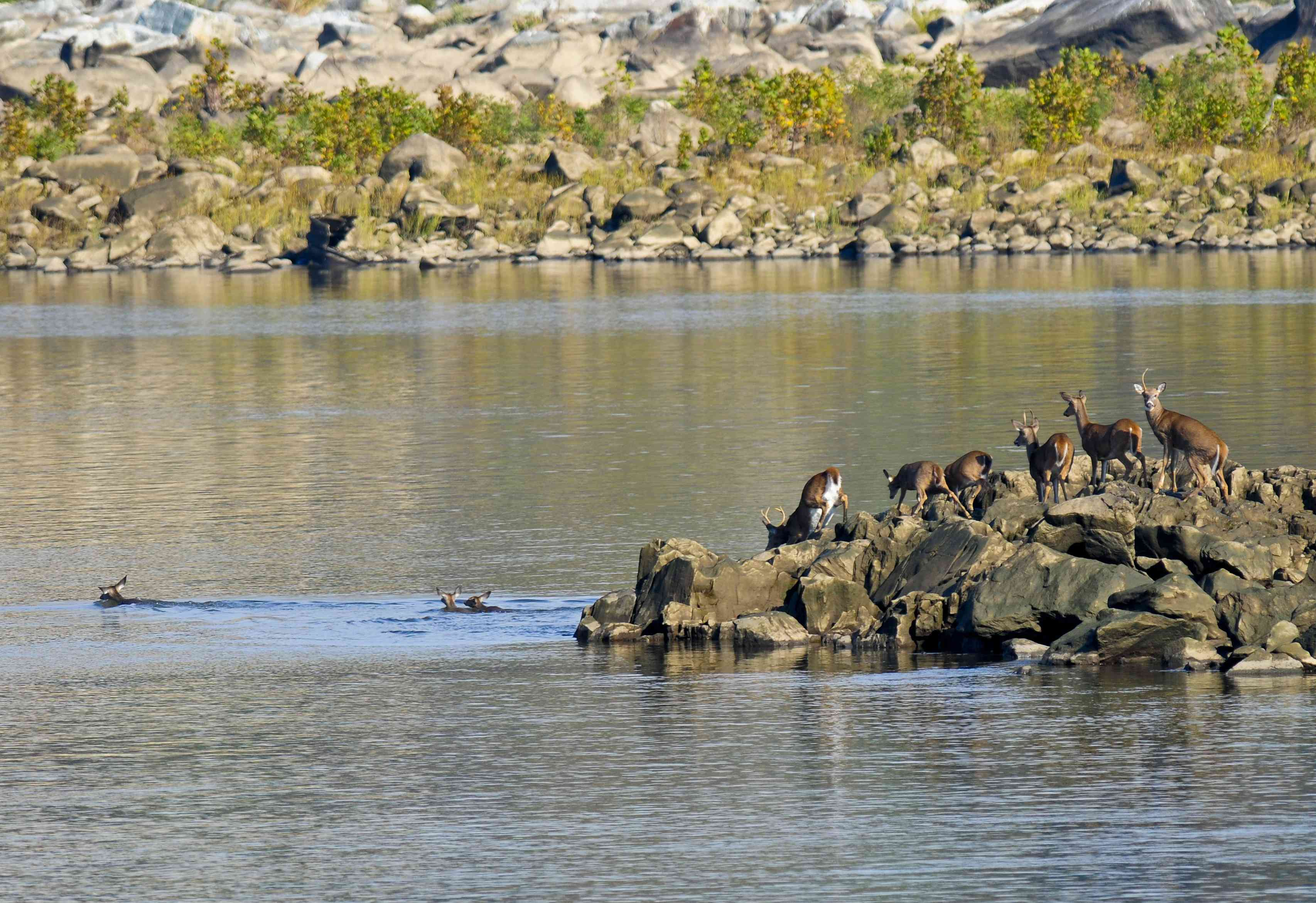 Whitetail deer herd swimming across a river