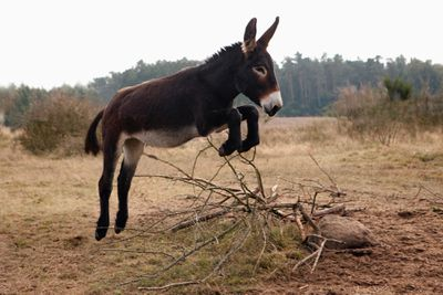 playful dark brown donkey jumps over bunch of branches in field