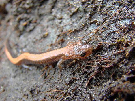 redback salamander photo